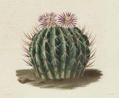 Echinocactus coptonogonus